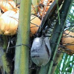 Kokosový olej, zázrak přírody